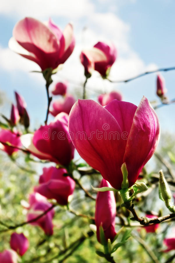 Magnolia flowers. Blossoming of magnolia flowers in spring time stock image