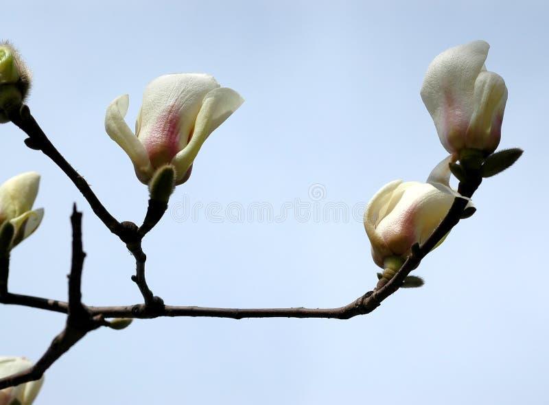 Download Magnolia Flowers Stock Image - Image: 4493841