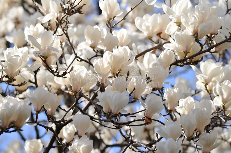 Download Magnolia Flowers stock image. Image of nature, beauty - 5041009