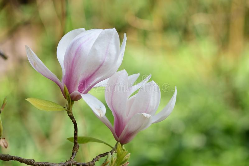 Magnolia flowers. Close up of pink and white magnolia flowers in bloom royalty free stock photo