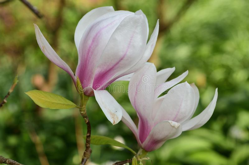 Magnolia flowers. Close up of pink and white magnolia flowers in bloom stock photo