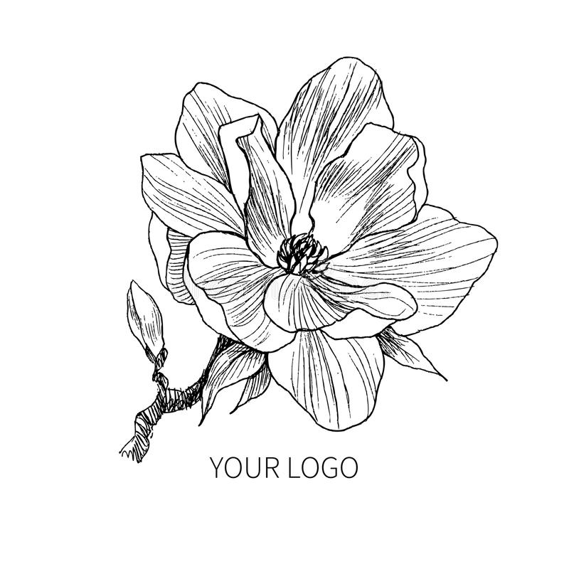 Magnolia Flower Line Drawing : Ink pencil the leaves and flowers of magnolia isolate