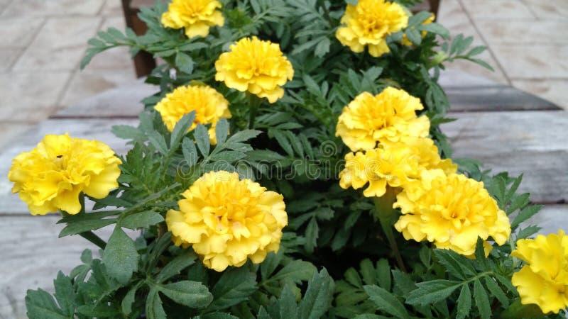 Marigolds flowers for garden stock photos