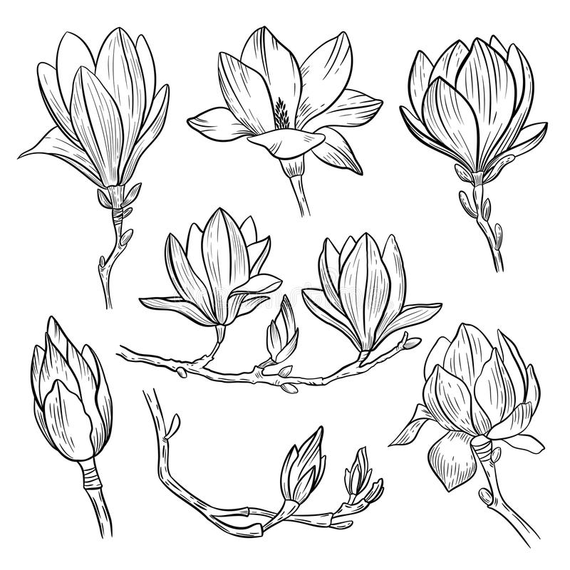 Magnolia flowers. Hand drawn spring blossoming plant elements isolated on white background. Vector illustration. stock illustration