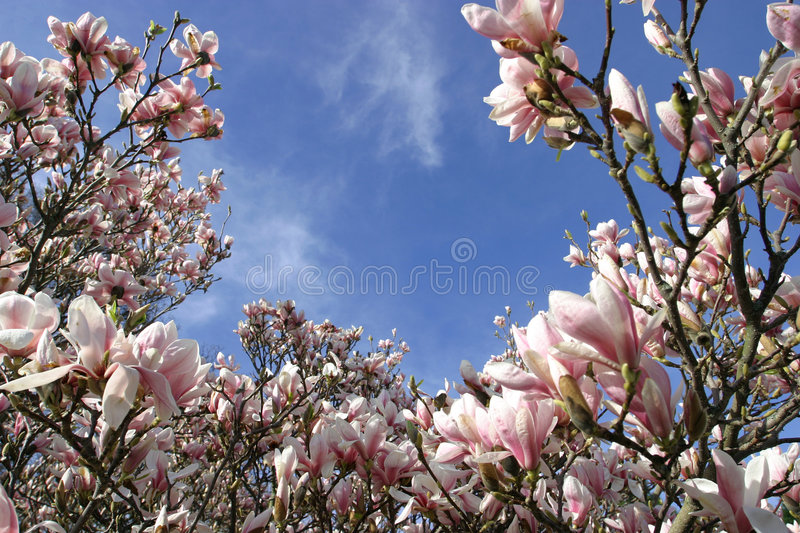 Magnolia Flowers in Spring Bloom royalty free stock photo