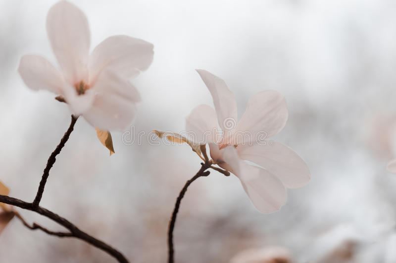 Magnolia flowers in spring garden. Magnolia flowers in spring park, beautiful white blossoms in the spring, selective focus stock photography