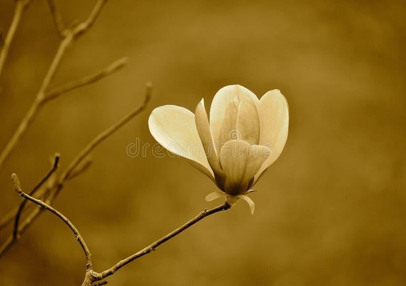 Magnolia giapponese fotografie stock libere da diritti