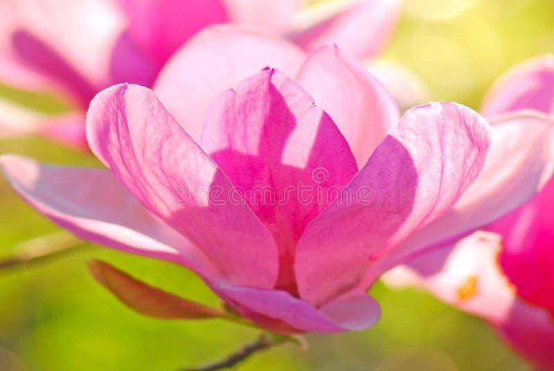 Magnolia giapponese immagini stock libere da diritti