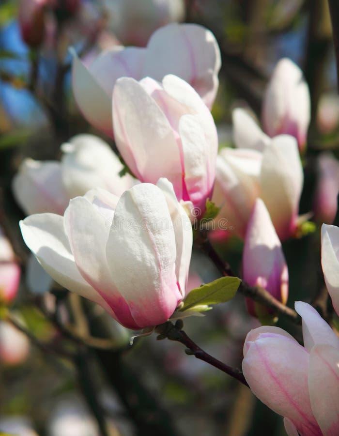 Magnolia grandiflora imagen de archivo libre de regalías