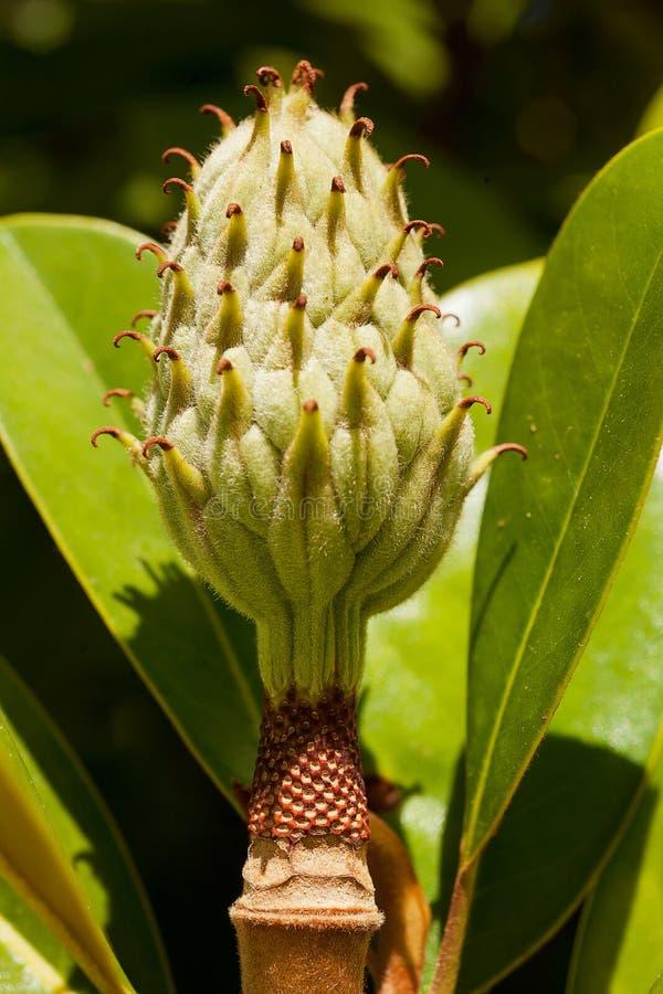 magnolia grandiflora fotos de stock