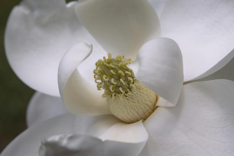 Magnolia grandiflora royalty free stock photo