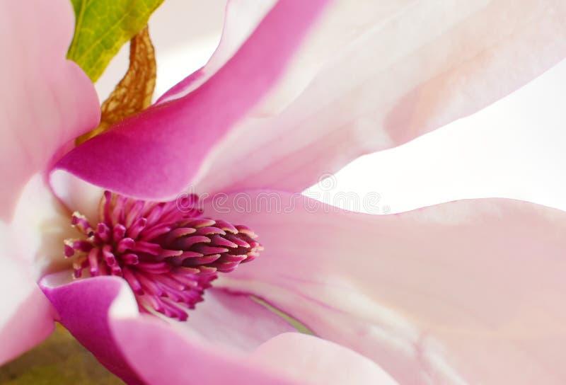Magnolia i rosa och vita toner playnig för bakgrundsblommalampa arkivbild