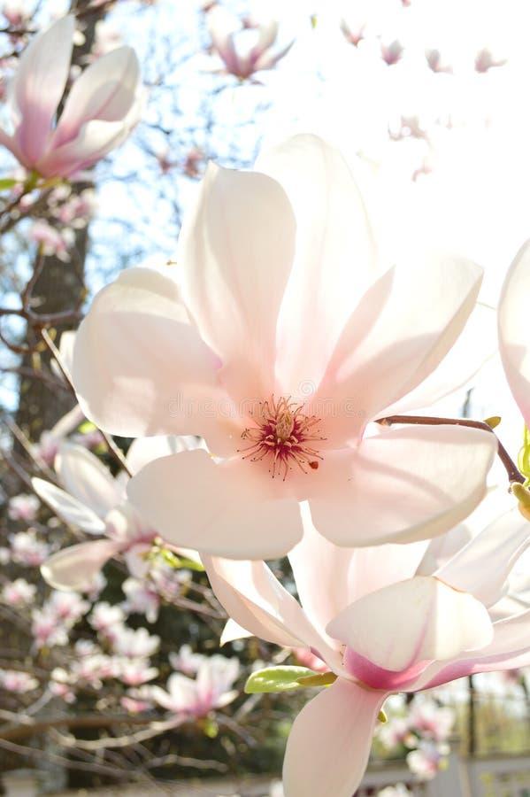 Magnolia i solen fotografering för bildbyråer