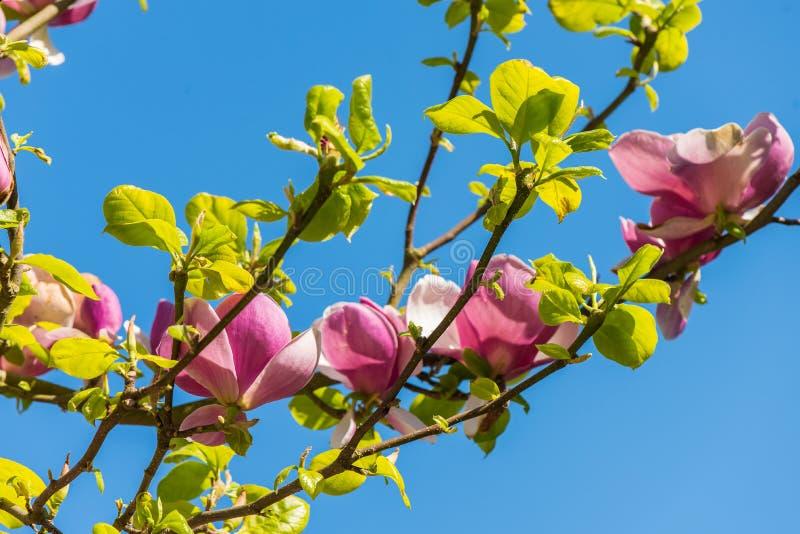Magnolia i vår royaltyfri foto