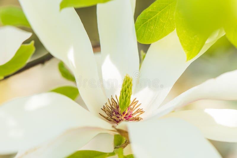 Magnolia i vår fotografering för bildbyråer