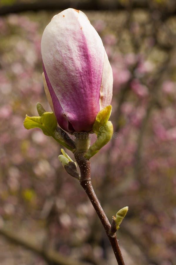 Magnolia in Kiev royalty-vrije stock fotografie