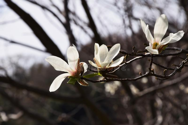 Magnolia kobus royalty free stock photography