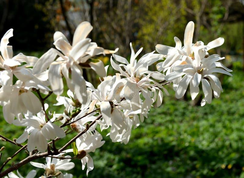 Magnolia kobus, known as mokryeon, kobus magnolia, or kobushi magnolia, species of Magnolia native to Japan and occasionally culti stock image