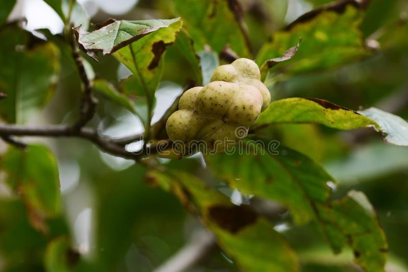 Magnolia kobus stock photo