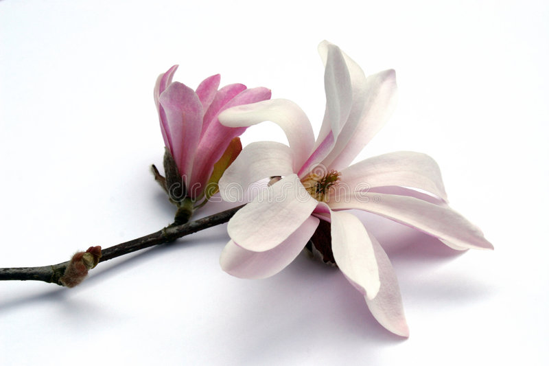 magnolia kwiat obrazy stock