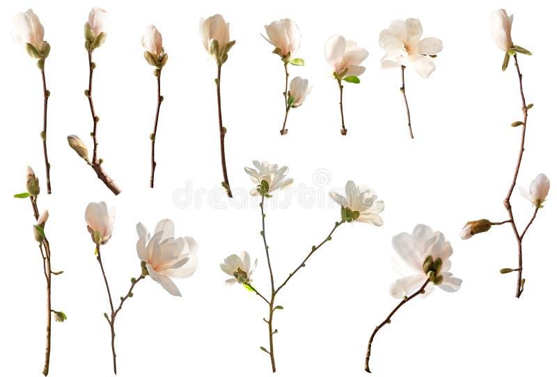 Magnolia kwiaty odizolowywaj?cy fotografia stock