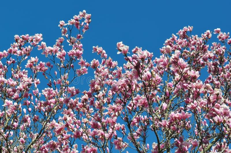 Magnolia kwiaty w kwiacie i pączki Szczegół kwiatonośny magnoliowy drzewo przeciw jasnemu niebieskiemu niebu Ampuła, światło - ró zdjęcia stock