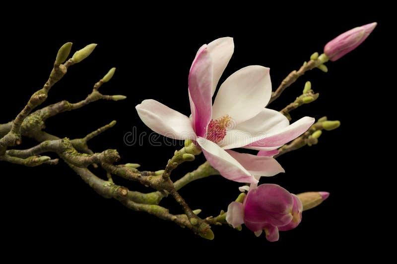 magnolia kwitnąca fotografia royalty free