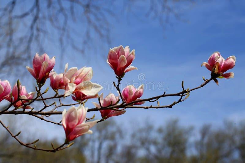 Magnolia Kwitnie w kwiacie na wiosna dniu zdjęcia stock