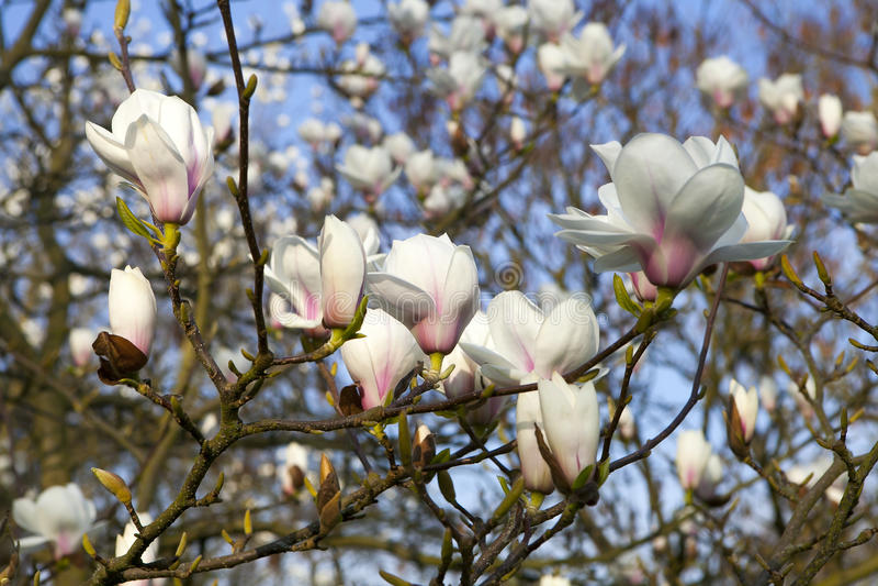 Magnolia ` Leonard Messel `, witte bloem en knop die op een boom openen royalty-vrije stock foto