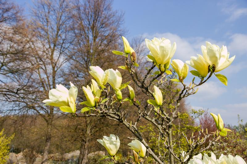 Magnolia light yellow. Vanilla magnolia blooms in the garden, magnolia shrub and blue sky is background royalty free stock images