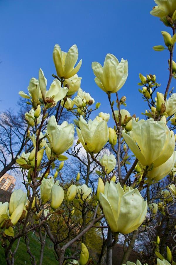 Magnolia light yellow. Vanilla magnolia blooms in the garden, magnolia shrub and blue sky is background stock image