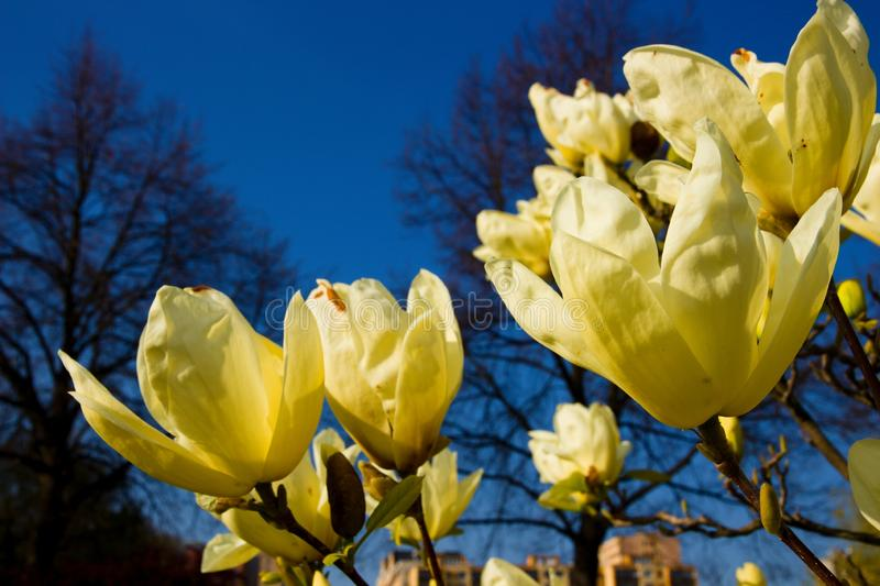 Magnolia light yellow. Vanilla magnolia blooms in the garden, magnolia shrub and blue sky is background royalty free stock image