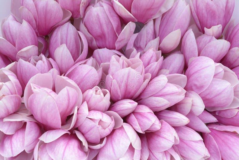 Download Magnolia stock image. Image of bunch, season, vivid, spring - 53098537
