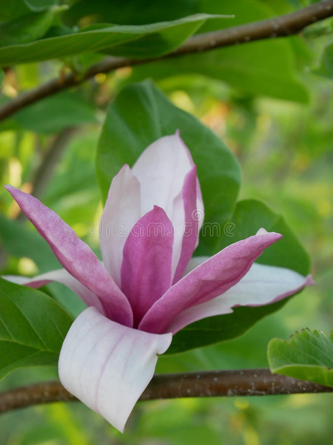 The magnolia royalty free stock photo