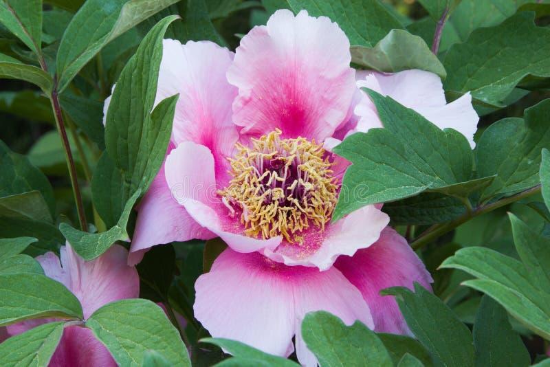 Magnolia magenta immagini stock