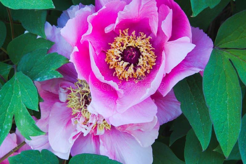 Magnolia magenta immagine stock libera da diritti