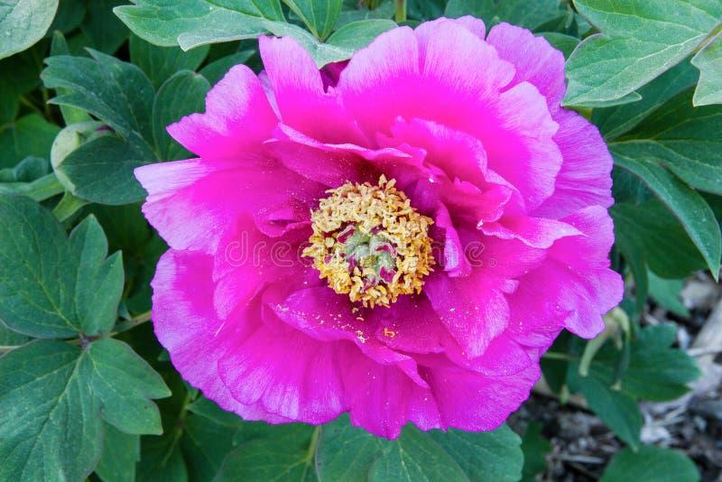 Magnolia magenta fotografia stock libera da diritti