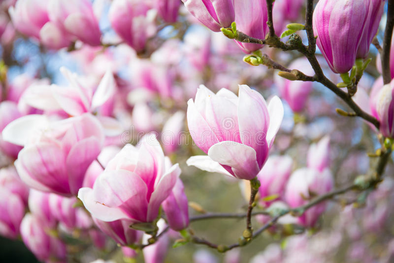 Magnolia, molla, fondo fotografia stock