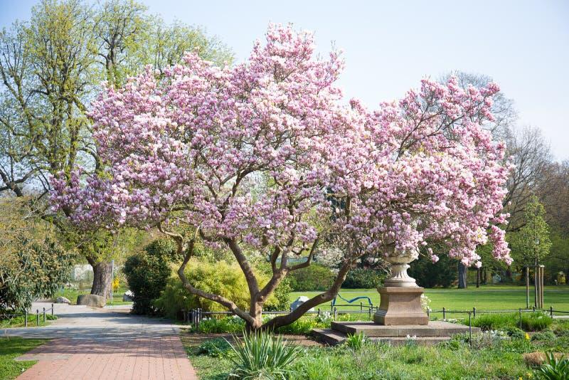 Magnolia, molla, fondo fotografie stock
