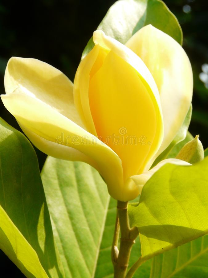 Magnolia monchampa champaka 8. Full bloom monchampa magnolia champaka family with soft sweet yellow color giving beautiful fragrance in morning sunlight a very royalty free stock photography