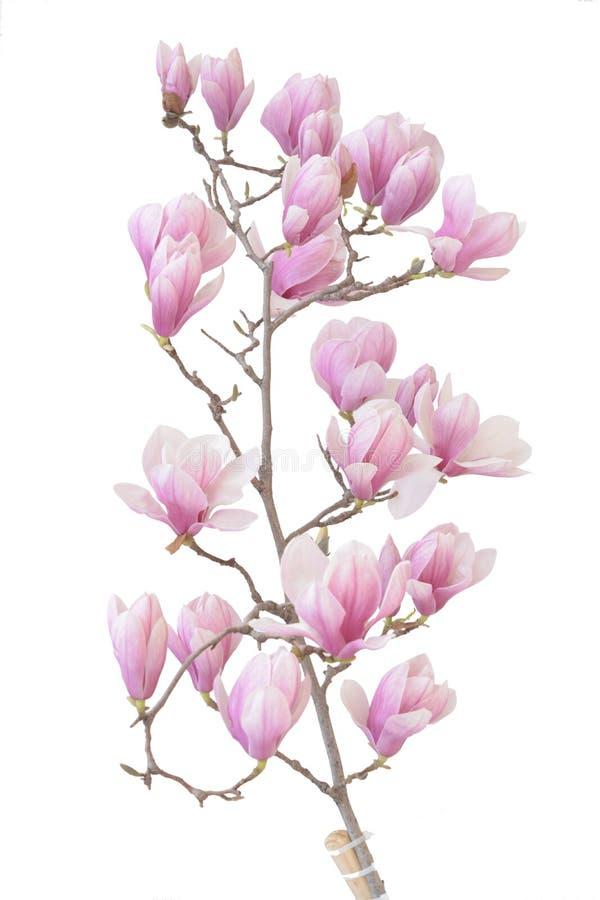 Magnolia pączek obraz stock