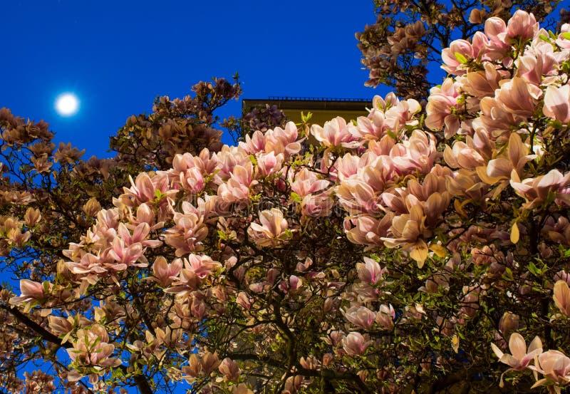 Magnolia pendant la nuit photo libre de droits