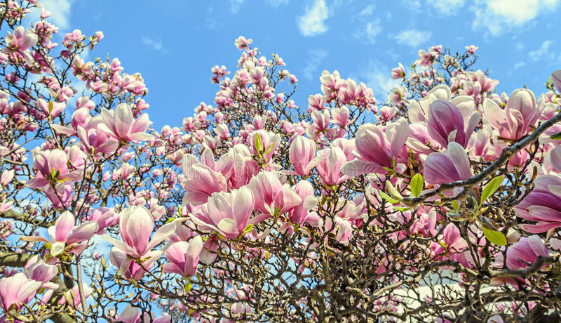 Magnolia pink blossom tree flowers, close up branch, outdoor stock photos