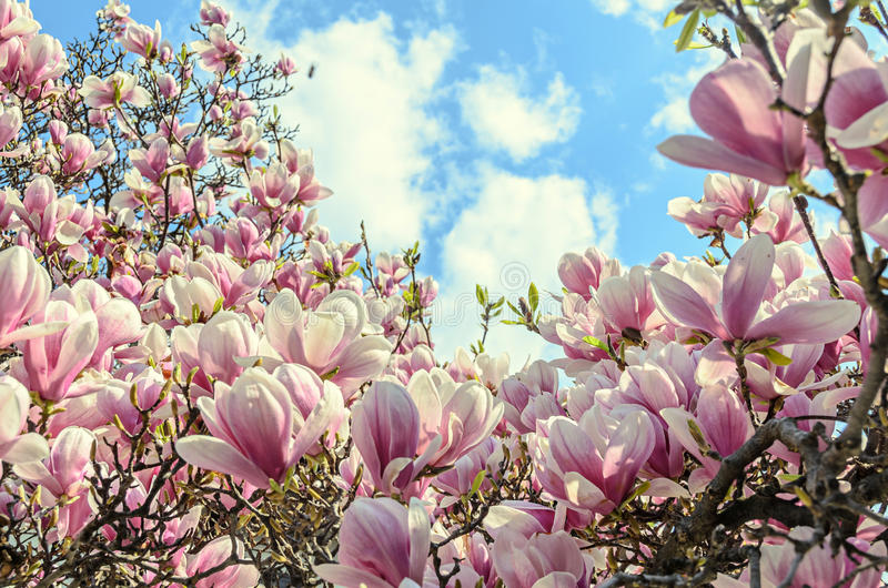 Magnolia pink blossom tree flowers, close up branch, outdoor.  stock photography