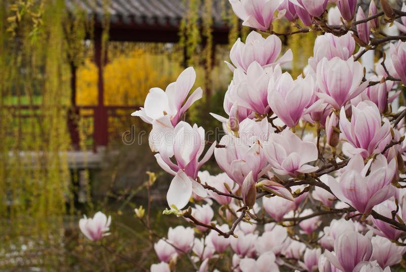 Magnolia pink blossom tree flowers, close up branch, outdoor royalty free stock image