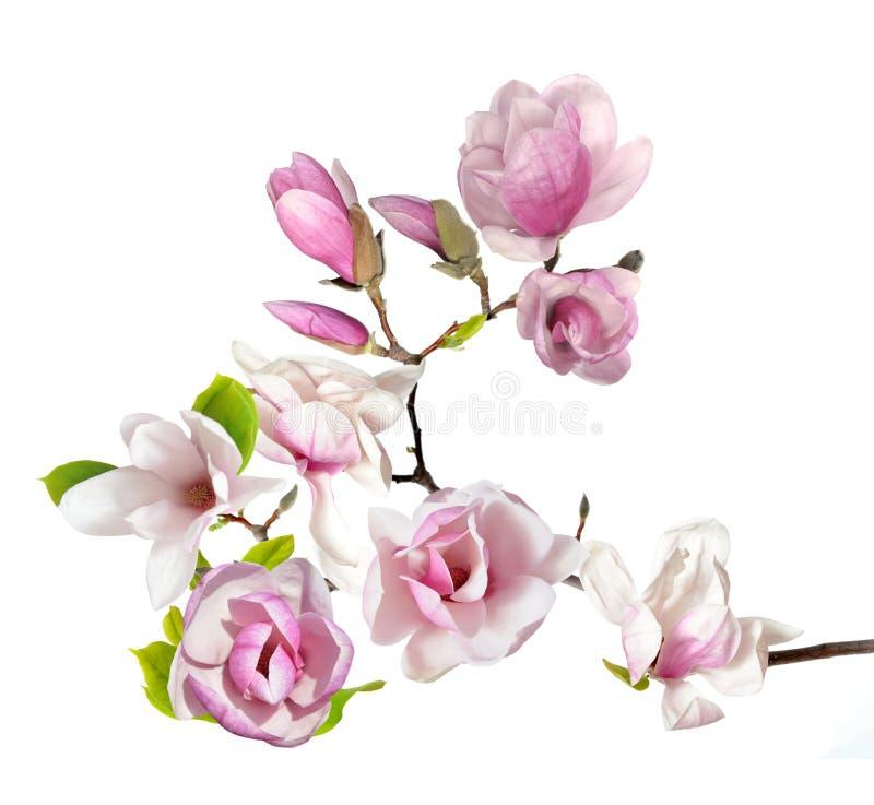 Magnolia. Pink magnolia flower isolated on white background stock images