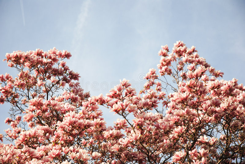 Magnolia pink flowers royalty free stock images
