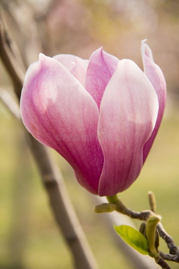 Magnolia rosa fotografia stock