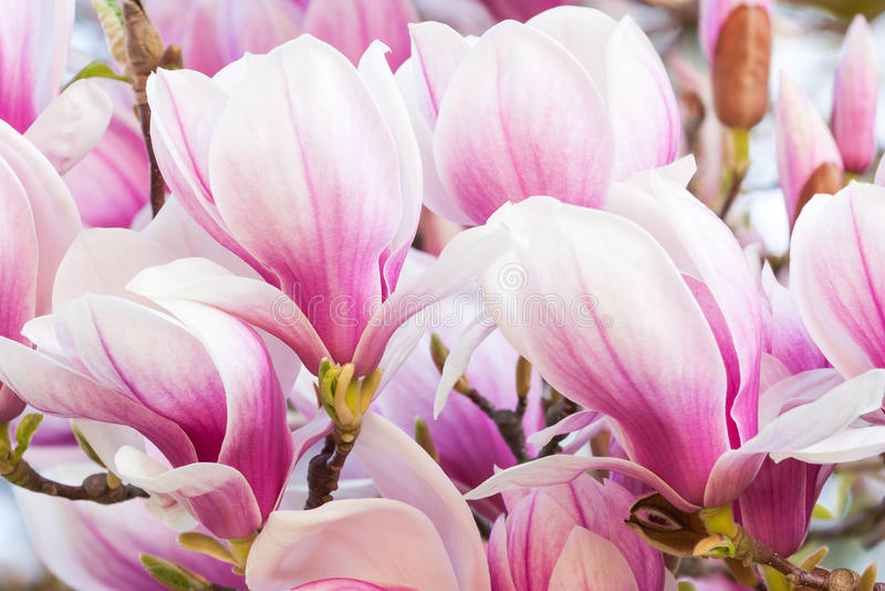 Magnolia rosa del fiore fotografia stock libera da diritti