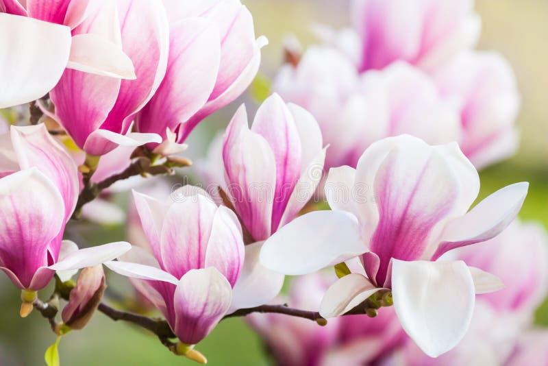 Magnolia rosa del fiore immagine stock libera da diritti